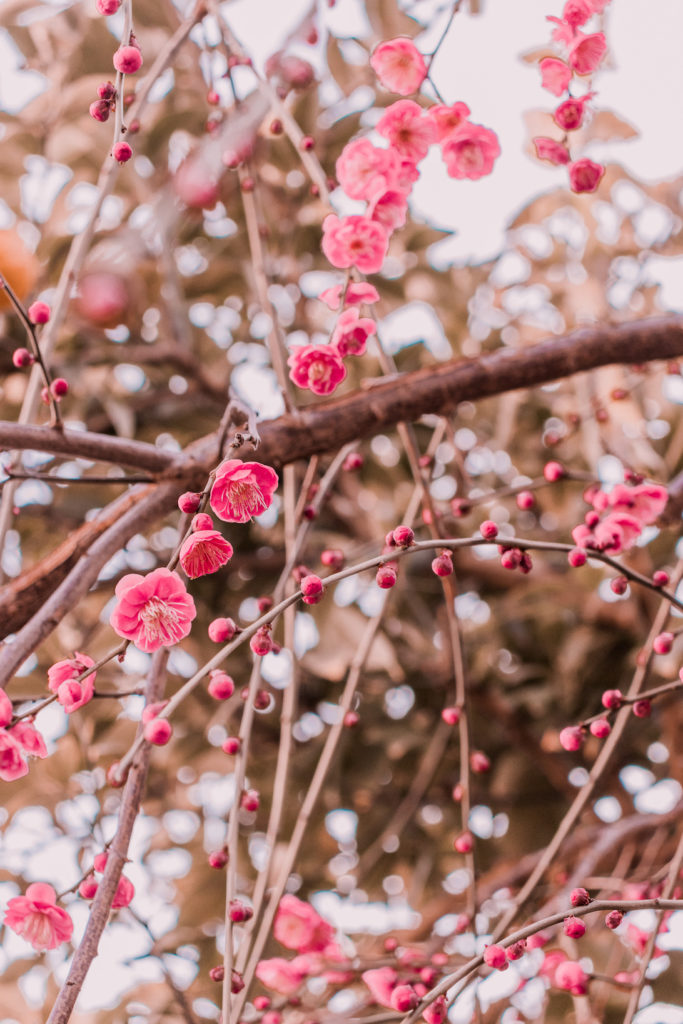 Plum blossoms hanging down in mid February