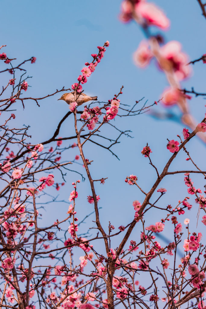 Plum blossoms in mid February bird