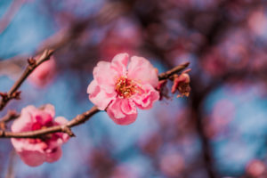 Plum blossoms in mid February up close
