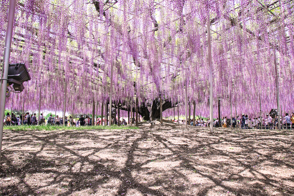 5 Tips To See The Famous Purple Wisteria At Ashikaga Flower Park