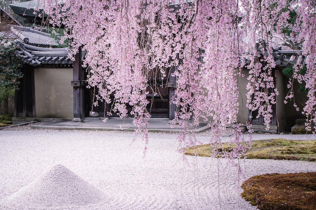 Kyoto Guide Kodaiji Temple with kids cherry blossom